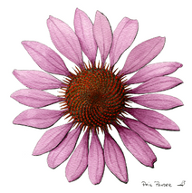 Flower Tennessee Cone Flower