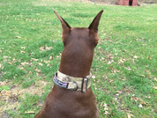 Reagan the Doberman with an ATACS-Acrid Urban collar