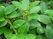gymnema-sylvestre-leaf.jpg