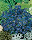 Anagalis Gentian Blue