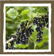 vanilla black currant
