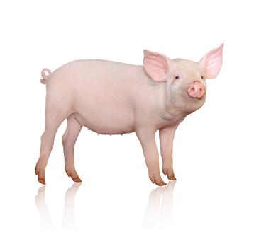 Swine Biosecurity And Pedv Jrg Supply