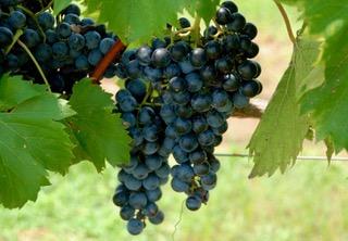 a-grapes-1418061709kat.jpeg