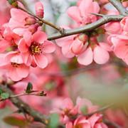 Cherry Blossom-TFA