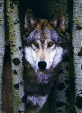 Gray Wolf 1000-Piece Puzzle