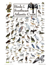 An identifying and educational chart of the Birds of the South Atlantic coast!