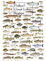 An identifying and educational chart of the Fish of the Great Lakes!