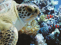 A beautiful picture of a sea turtle and a clown fish!