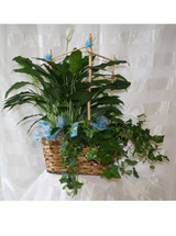 Gorgeously Green Plant Double Basket Garden by Enchanted Florist Pasadena TX - green potted plants all together in a basket decorated and ready for same day delivery in Houston TX, Webster TX, Deer Park TX, Pearland TX , Clear Lake TX and surrounding areas. RM425