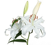 Lily Oriental Siberia (Packed 10 Stems)