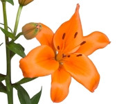 Lily Asiatic Orange (Packed 10 Stems)