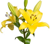Lily Asiatic Yellow (Packed 10 Stems)