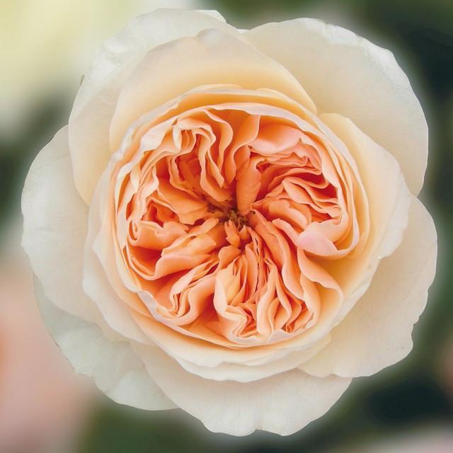 Peach Garden Rose zgarden rose juliet peach x36 stems - orlando flower market