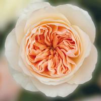 Juliet Peach Garden Roses