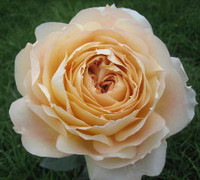 zGarden Rose Caramel Antique x36