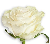 White - Mondial (Packed 100 stems)