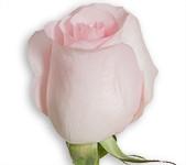 Pink - Sweet Akito (Packed 100 stems)