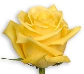 Yellow - Tara (Packed 100 stems)