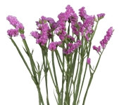 Statice (Packed 50 Stems)