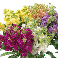 Stock (Packed 50 Stems)
