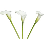 Calla Mini White (Packed 50 stems)