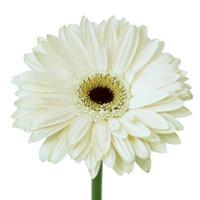Gerbera White x50
