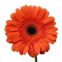 Gerbera Orange x50