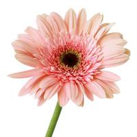 Gerbera Light Pink x 50
