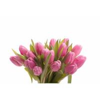 Tulip (50 stems)