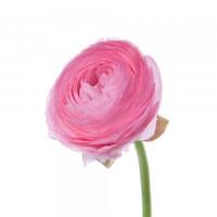 Ranunculus (60 stems)