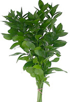 Ruscus - Florida (100 stems)