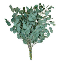 Eucalyptus - Silver Dollar (10 packs)