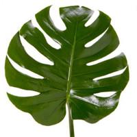 Monstera Leaf (10 stems)