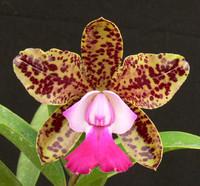 C. Green Emerald 'Orchid Queen' AM/AOS.