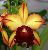 Blc. Miya's Fascination x Blc. Toshie Aoki.