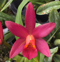 Lc. Varut Startrack x C. Chocolate Drop.