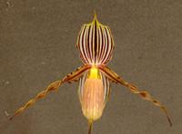 Paph. praestans (glanduliferum).