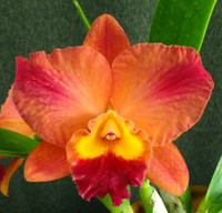 Lc. Tropical Sunset 'Cheer Girl' x Slc. Circle of Life.