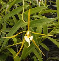 Epidendrum nocturnum.