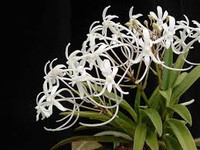 Neof. falcata (white).