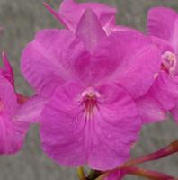 Bro. sanguinea (pink form).