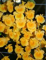 Dendrobium Species Special