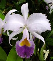 C. trianae var. coerulea