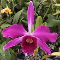 L. purpurata (flammea x sanguinea)