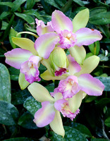 Blc. Hawaiian Satisfaction 'Romantic'