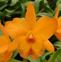 Blc. Yen Orange 'Yen'.