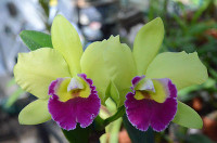 Blc. Hsinying Greenworth 'N.N.'