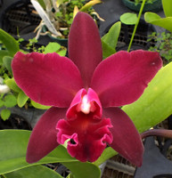 Blc. Miya's Fascination x Blc. Cumberland Beauty.