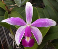 C. violacea semi alba flammea.