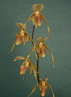 Paph. Bel Royal.